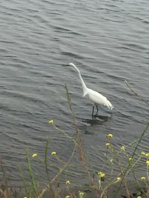 bc egret